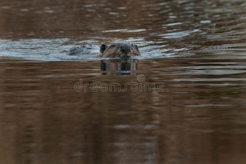 North American Beaver. Swimming in the open water. Tommy Thompson Park, Toronto, Ontario, Canada royalty free stock image
