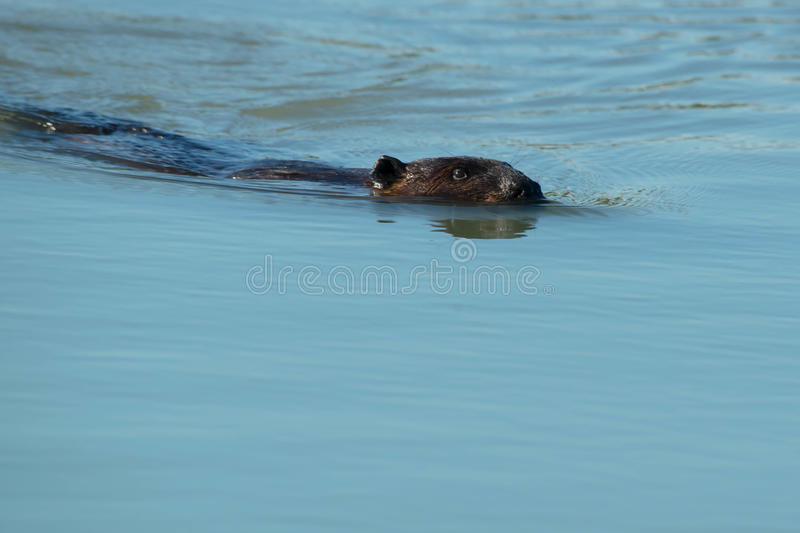 North American Beaver. Swimming in the open water. Tommy Thompson Park, Toronto, Ontario, Canada stock photo