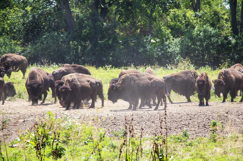 North American Bison in a Herd on the Great Plains stock images