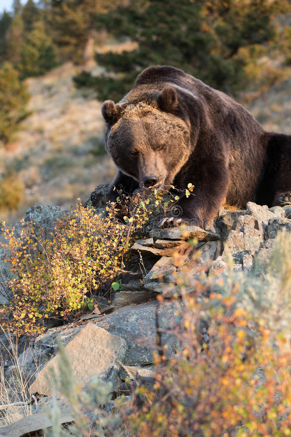 North American Brown Bear (Grizzly Bear) Royalty Free Stock Photography