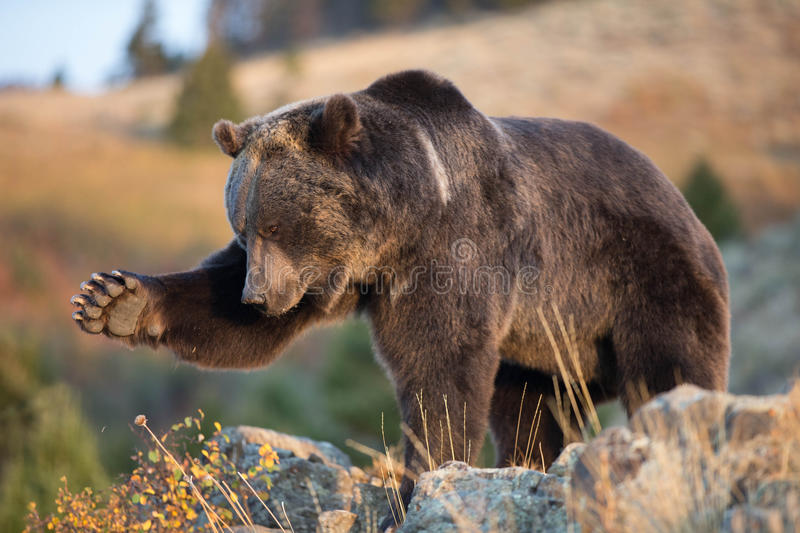 North American Brown Bear Grizzly Bear Stock Image