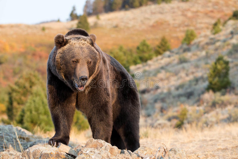 North American Brown Bear (Grizzly Bear). Looking royalty free stock photo