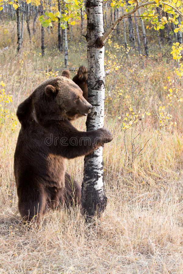 North American Brown Bear (Grizzly Bear). On tree royalty free stock photography