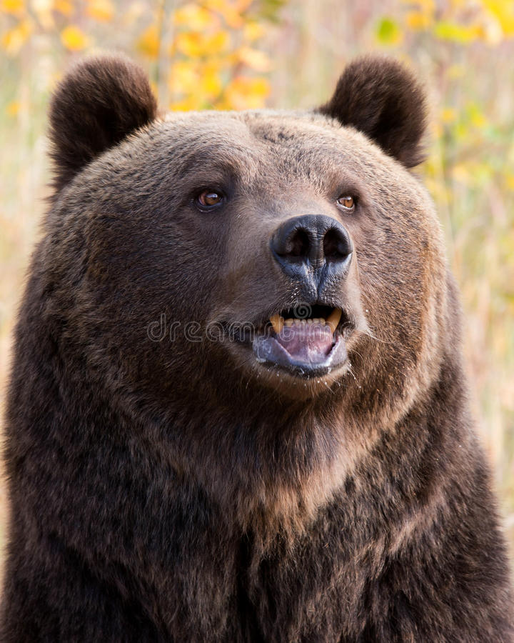 North American Brown Bear (Grizzly Bear). Close up of a North American Brown Bear (Grizzly Bear royalty free stock photos