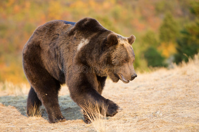 North American Brown Bear (Grizzly Bear). Walking royalty free stock image