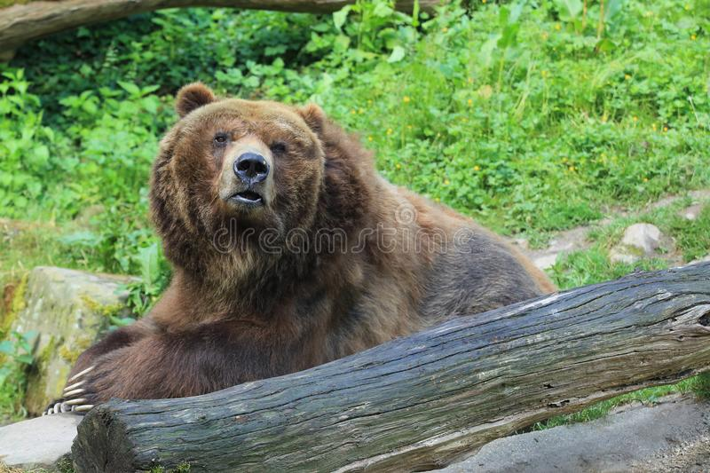 North American brown bear. Sitting on the rock stock photos