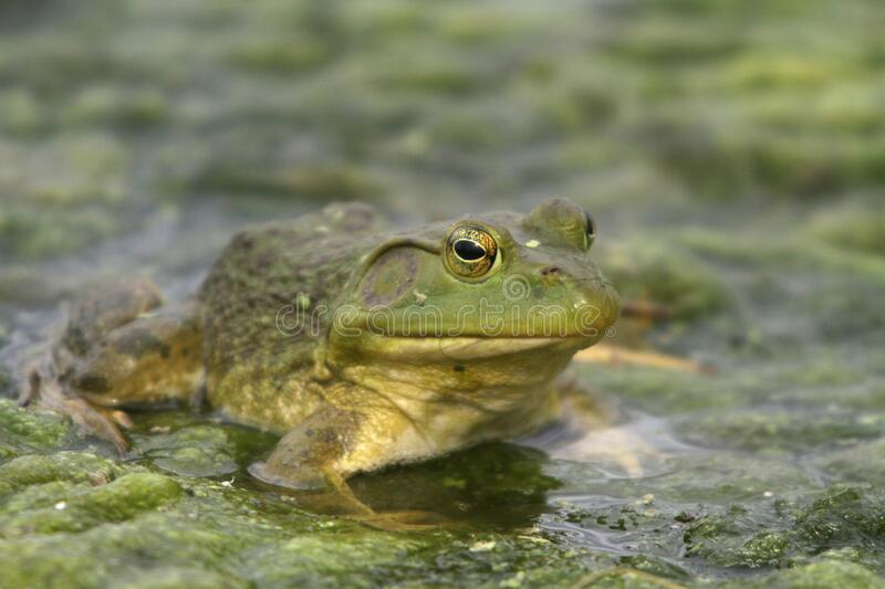 North American Bullfrog 02 stock photos