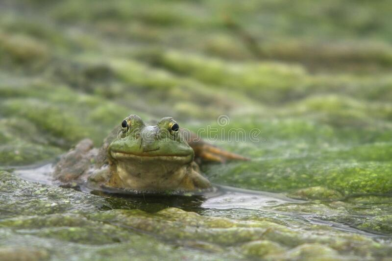 North American Bullfrog 03 royalty free stock photo
