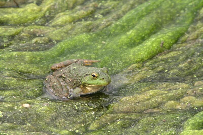 North American Bullfrog 04 royalty free stock photos
