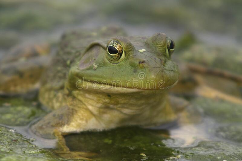North American Bullfrog 01 stock image