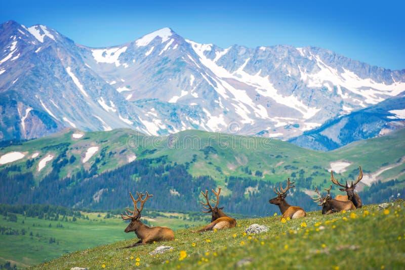 North American Elks stock photos
