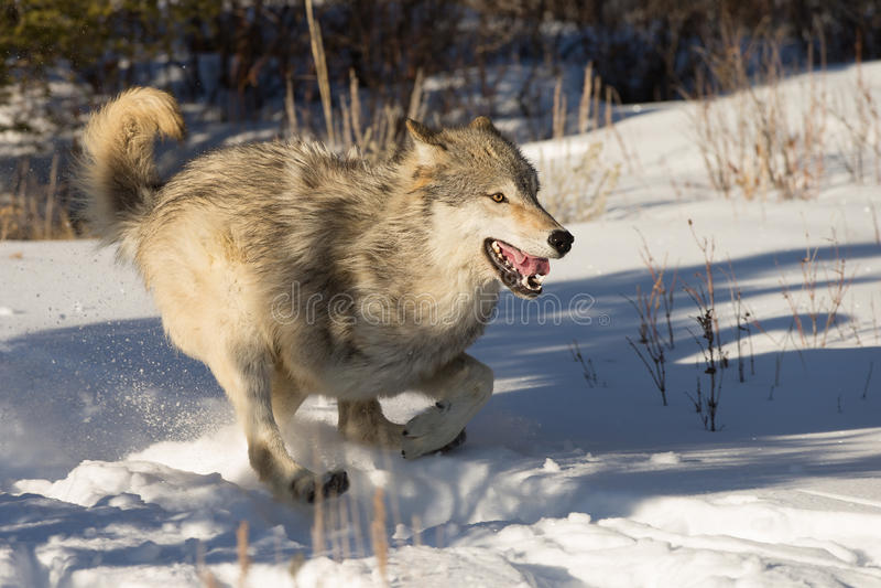 North-american Grey Wolf na neve foto de stock