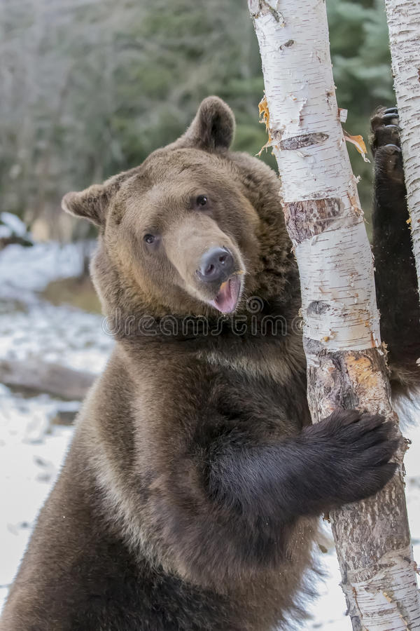 North American Ninja Bear. A Grizzly Bear enjoys the winter weather in Montana stock photo