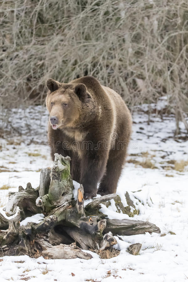 North American Ninja Bear. A Grizzly Bear enjoys the winter weather in Montana royalty free stock photo