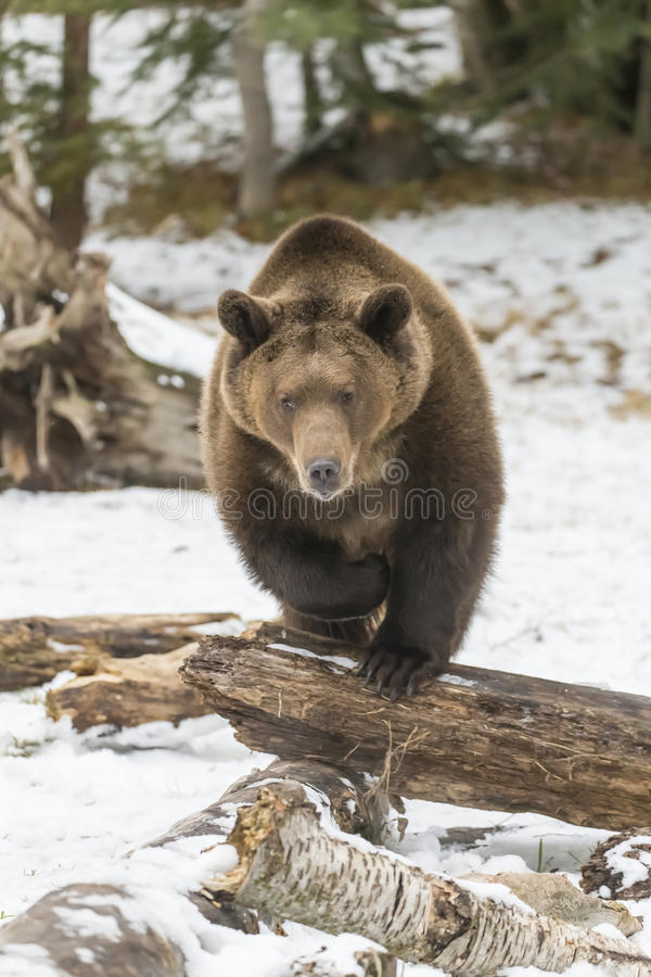 North American Ninja Bear. A Grizzly Bear enjoys the winter weather in Montana royalty free stock photos