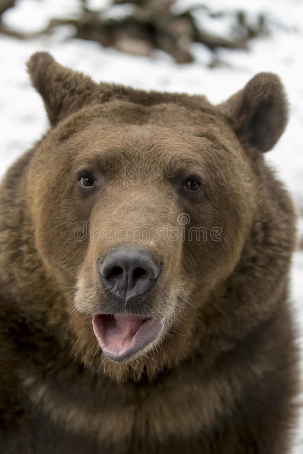 North American Ninja Bear. A Grizzly Bear enjoys the winter weather in Montana royalty free stock photography