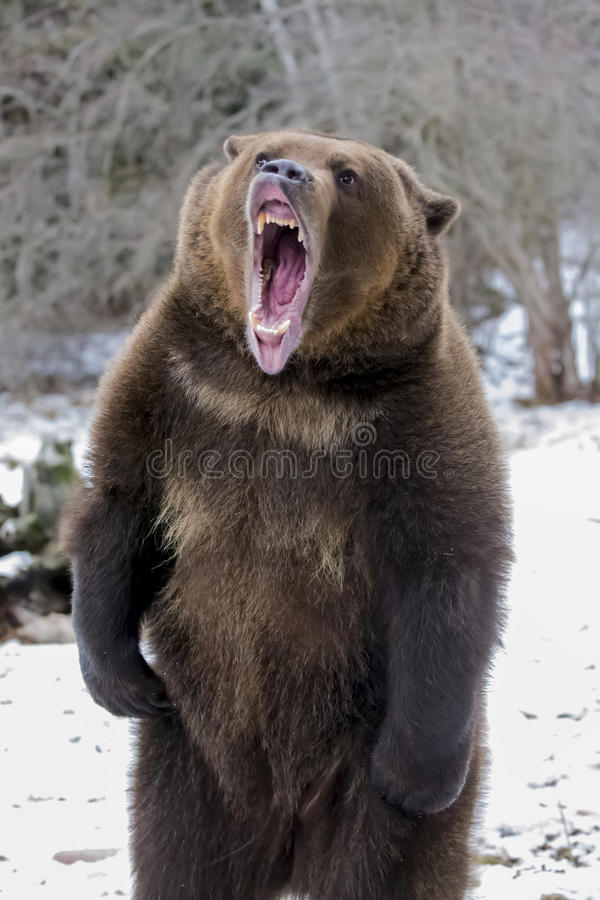 North American Ninja Bear. A Grizzly Bear enjoys the winter weather in Montana stock photos