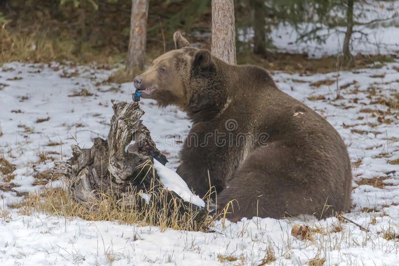 North American Ninja Bear. A Grizzly Bear enjoys the winter weather in Montana, while destroying a small video device stock images