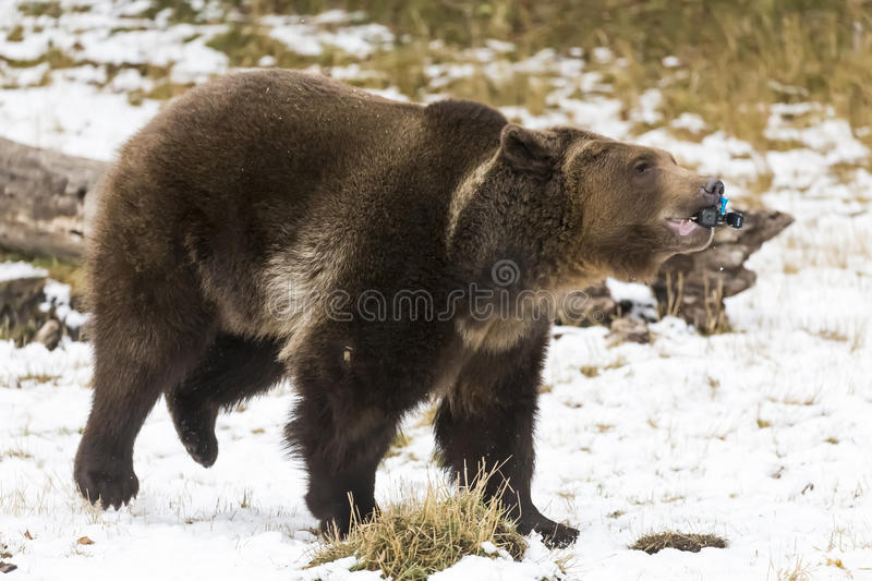 North American Ninja Bear. A Grizzly Bear enjoys the winter weather in Montana, while destroying a small video device stock photos