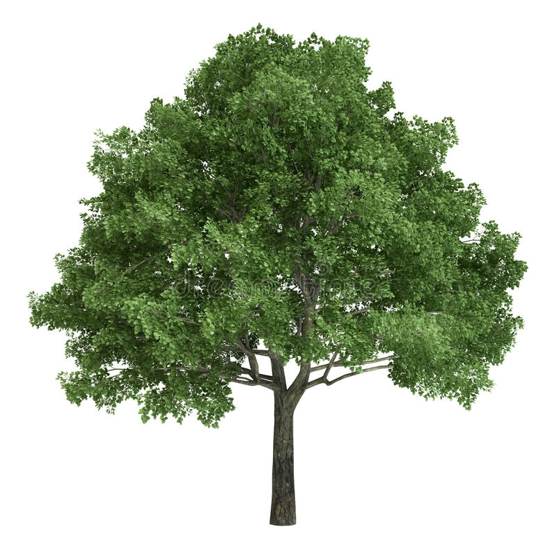 North American Oak Tree Isolated vector illustration