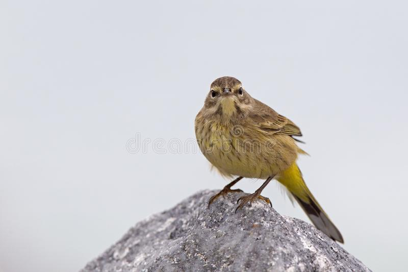 A North American palm warbler foraging on the coast at Key West Island Florida. royalty free stock photography