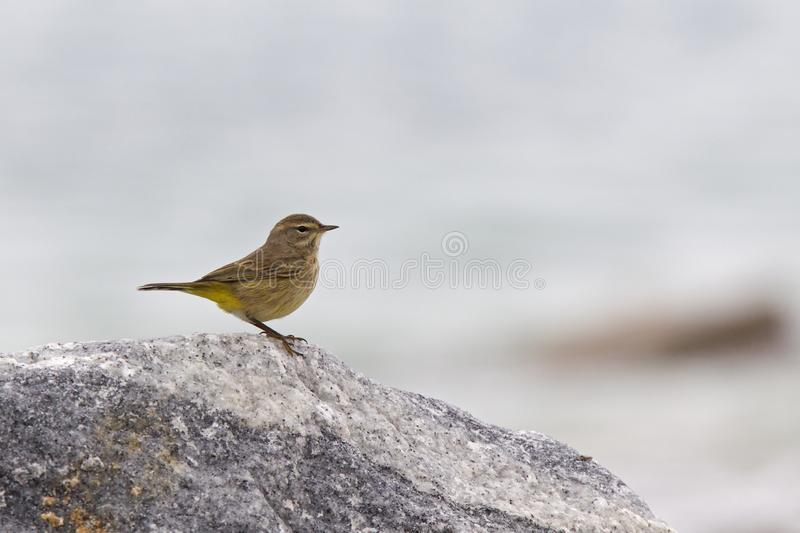 A North American palm warbler foraging on the coast at Key West Island Florida. stock photography
