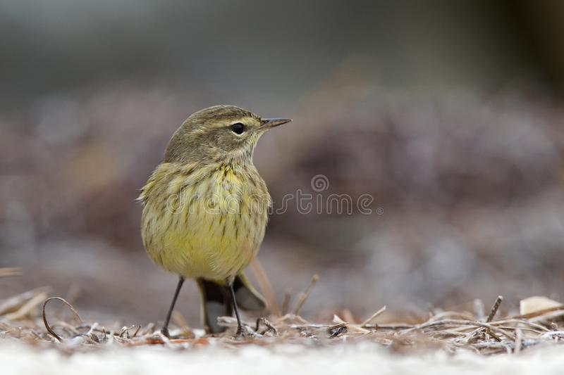 A North American palm warbler foraging on the coast at Key West Island Florida. stock photo