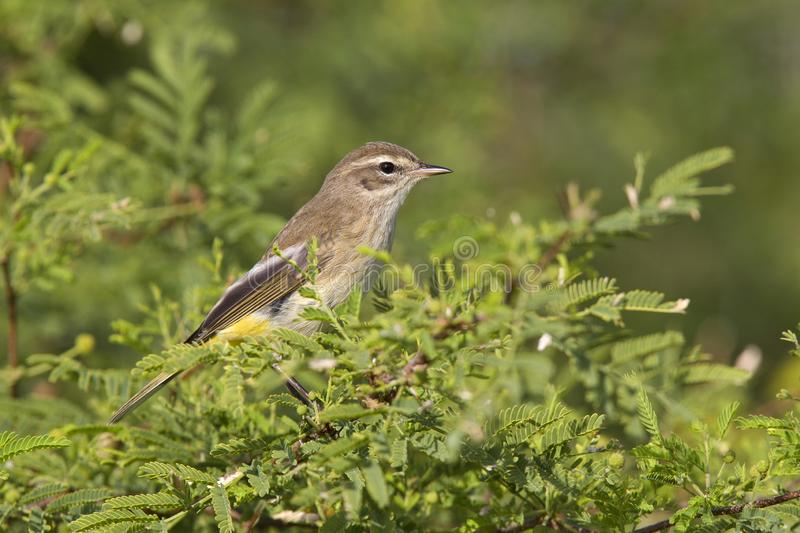 A North American palm warbler perched on a branch of a bush at Key West Island Florida. stock photo