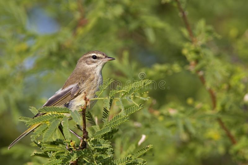 A North American palm warbler perched on a branch of a bush at Key West Island Florida. royalty free stock image