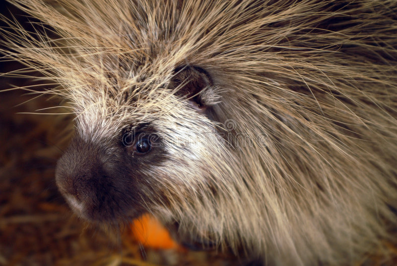 North American porcupine. Erethizon dorsatum royalty free stock image
