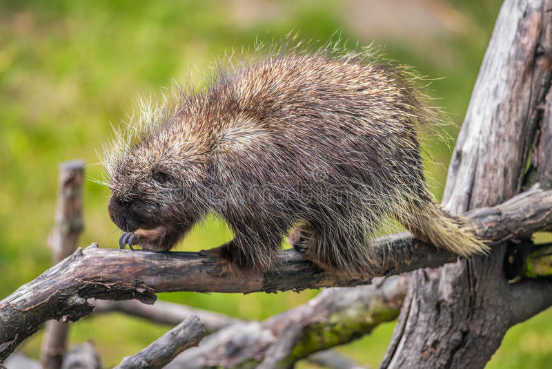 North American porcupine on a branch. North American porcupine (Erethizon dorsatum) on a branch stock photography