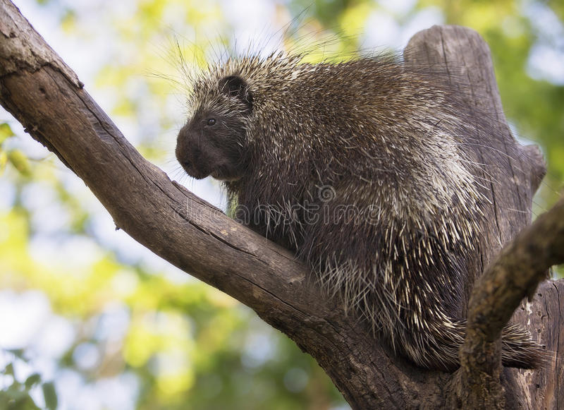 North American Porcupine. Close up image of a North American porcupine royalty free stock photo