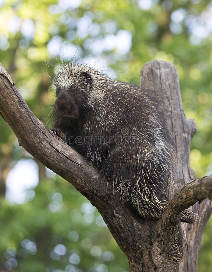 North American Porcupine. Close up image of a North American porcupine royalty free stock photography