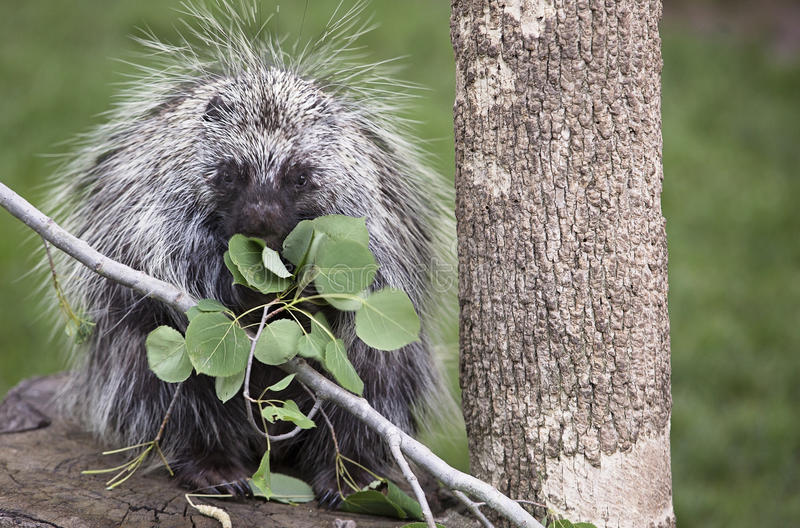 North American Porcupine. Close up image of a North American porcupine eating Aspen leaves royalty free stock photography