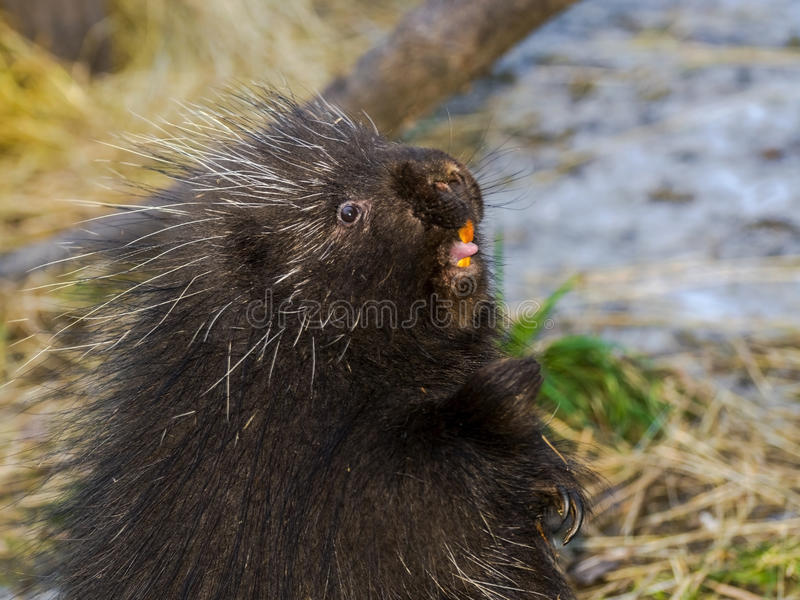 North American porcupine. North American or common porcupine (Erethizon dorsatum) is standing up stock image
