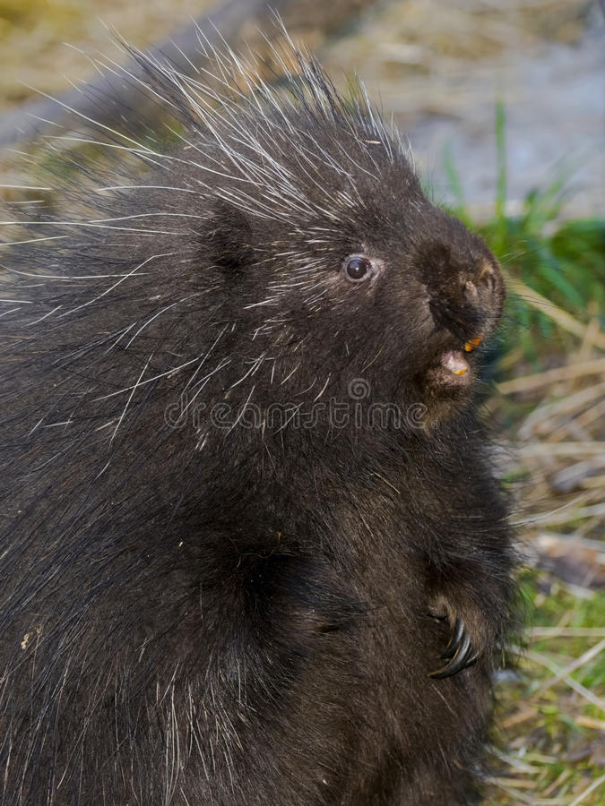 North American porcupine. North American or common porcupine (Erethizon dorsatum) is standing up stock photo
