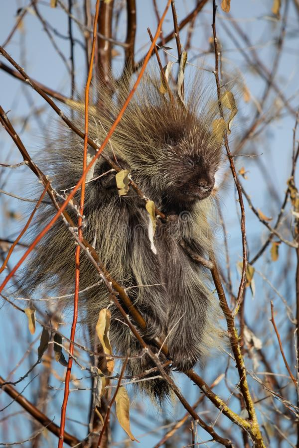 North American Porcupine. Eating branches in Antelope Island, Utah royalty free stock photos