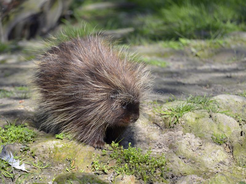 North American porcupine. The North American porcupine Erethizon dorsa, also known as the Canadian porcupine or common porcupine, walking on ground stock image