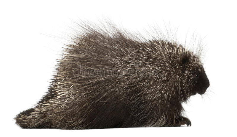 North American Porcupine, Erethizon dorsatum. Also known as Canadian Porcupine or Common Porcupine against white background stock photos