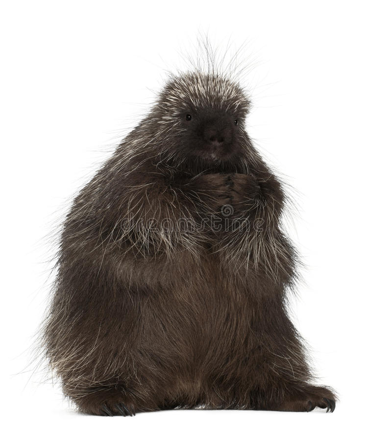 North American Porcupine, Erethizon dorsatum. Also known as Canadian Porcupine or Common Porcupine against white background stock photography
