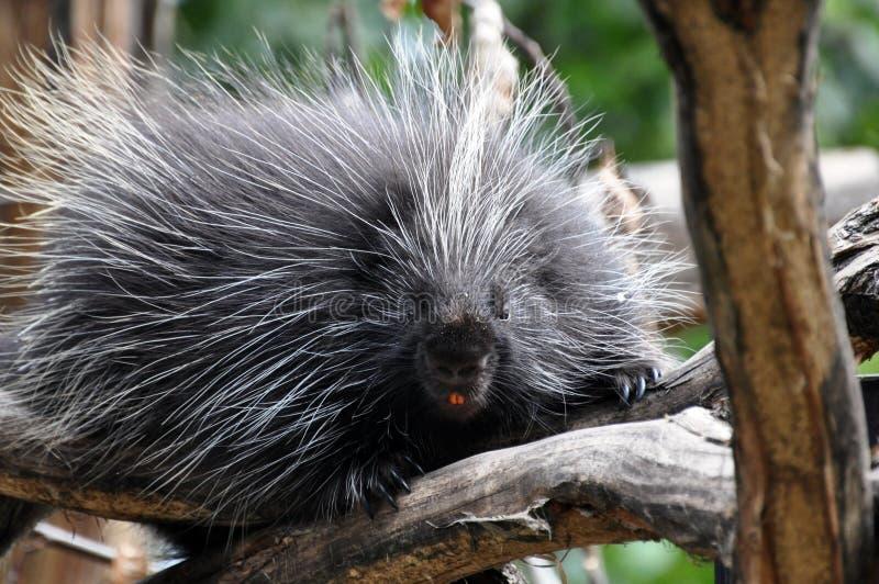 North American Porcupine. (Erethizon dorsatum stock photo
