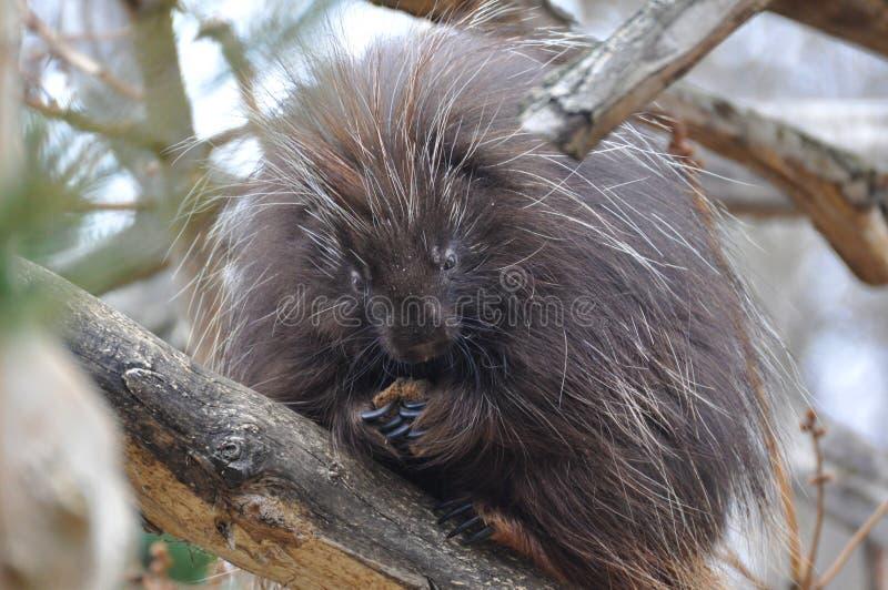 North American Porcupine. (Erethizon dorsatum stock photos