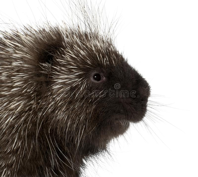 North American Porcupine, Erethizon dorsatum, also known as Canadian Porcupine or Common Porcupine against white background royalty free stock photos
