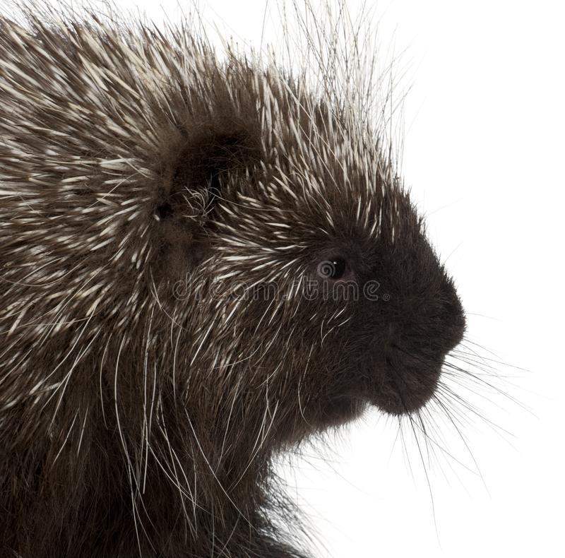 North American Porcupine, Erethizon dorsatum. Also known as Canadian Porcupine or Common Porcupine against white background royalty free stock image