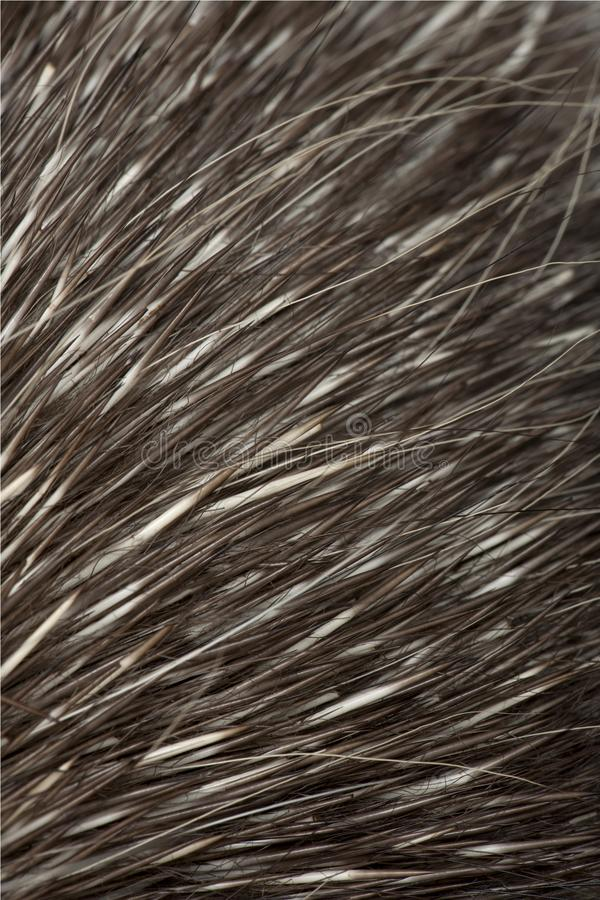 North American Porcupine, Erethizon dorsatum, also known as Canadian Porcupine or Common Porcupine. Close up of fur royalty free stock photo