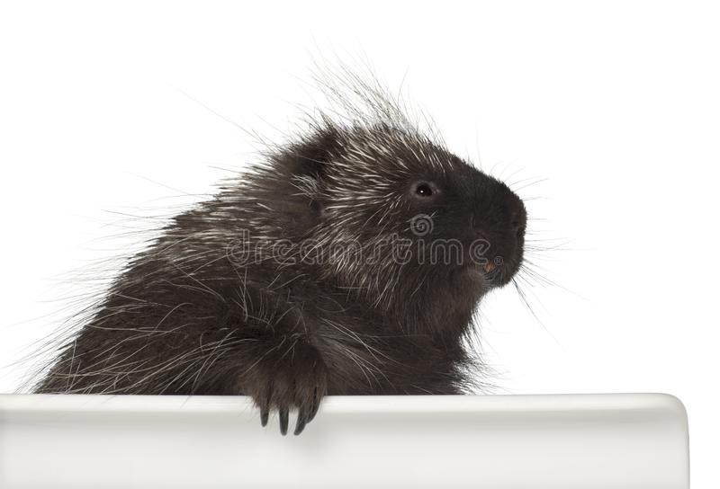 North American Porcupine, Erethizon dorsatum, also known as Canadian Porcupine or Common Porcupine getting out of box. E against white background stock images