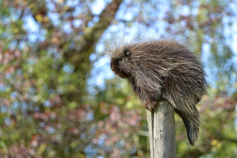 North American porcupine. The North American porcupine Erethizon dorsatum, also known as the Canadian porcupine or common porcupine, perched on stake royalty free stock image