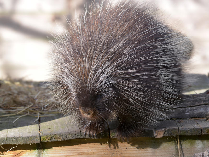 North American porcupine. The North American porcupine Erethizon dorsatum, also known as the Canadian porcupine or common porcupine, on plank stock images