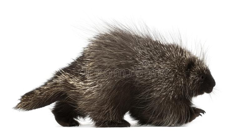 North American Porcupine, Erethizon dorsatum. Also known as Canadian Porcupine or Common Porcupine walking against white background stock photo