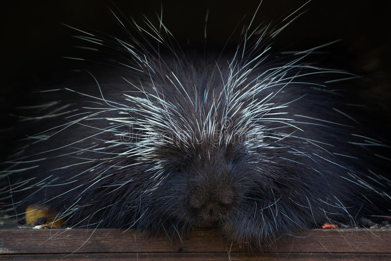 North American porcupine (Erethizon dorsatum). North American porcupine (Erethizon dorsatum), also known as the Canadian porcupine. Wild life animal stock image